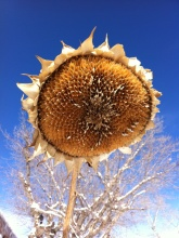 sunflower comp